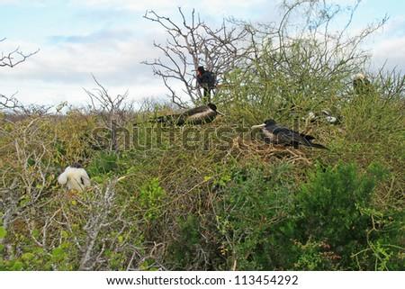 Magnificent Frigatebird (Fregata magnificens) females by their nests on North Seymour Island, Galapagos islands, Ecuador, South America. - stock photo