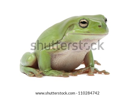 Magnificent green tree frog, Litoria splendida, on white background - stock photo