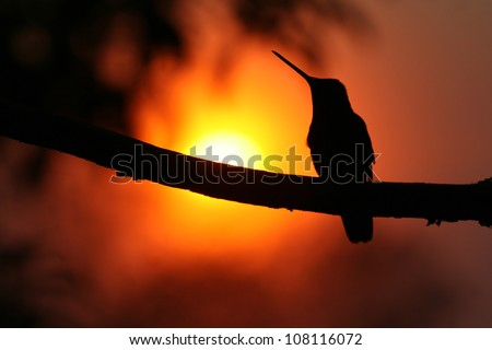 Magnificent Hummingbird (Eugenes fulgens) sat on a branch at sunset. Silhouetted. Taken at Mirador de Quetzales, Costa Rica, Central America. - stock photo