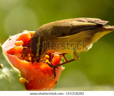 Magnificent image of a splendid bird phylloscopus canariensis perched on a delicious ripe prickly pear eating its exquisite and juicy fruit pulp, on unfocused natural green background - stock photo