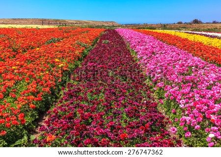 Magnificent kibbutz field with blossoming buttercups  - ranunculus of different colors. Spring flowering buttercups - stock photo