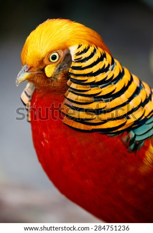 Magnificent male golden pheasant bird with beautiful feathers - stock photo