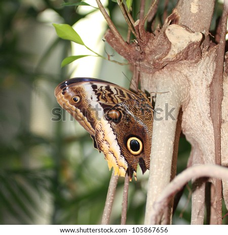 Magnificent Owl Butterfly - stock photo