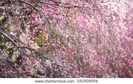 Magnificent painting like view of spring cherry blossoms. - stock photo
