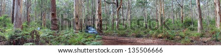 Magnificent Panorama of Pale-Barked Karri Trees and off-road vehicle in Boranup Forest, South, Western Australia - stock photo