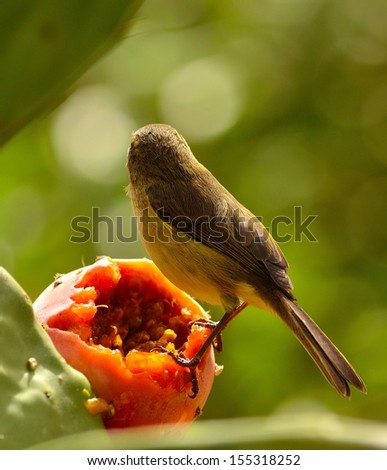 Magnificent silhouette of bird phylloscopus canariensis on a ripe fruit of opuntia ficus indica looking around and waiting to eat exquisite pulp of  prickly pear, on blurred natural green background - stock photo