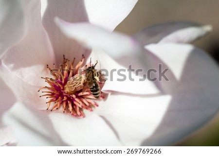 Magnolia - beautiful flowers in a spring day with bee inside - stock photo