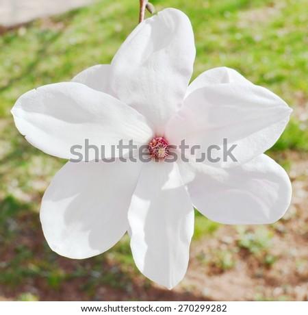 Magnolia blossom - stock photo