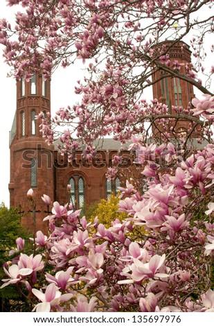Magnolia blossom and smithsonian park - stock photo