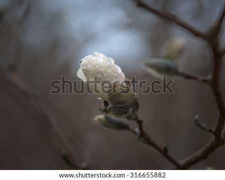 Magnolia Blossom in Dark Forest after Rainfall, Shallow Depth of Field - shot with Nikon D810, f4, 1/1000 sec, ISO 320 - stock photo
