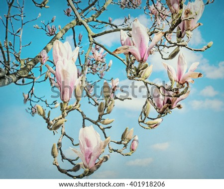 Magnolia Blossom with a pastel painted look. - stock photo