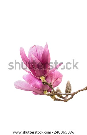Magnolia Blossoms Isolate on white background