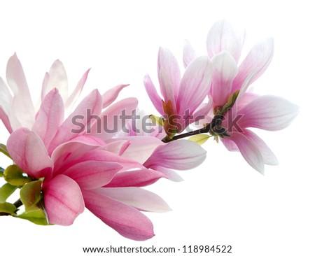 Magnolia blossoms isolated white background - stock photo