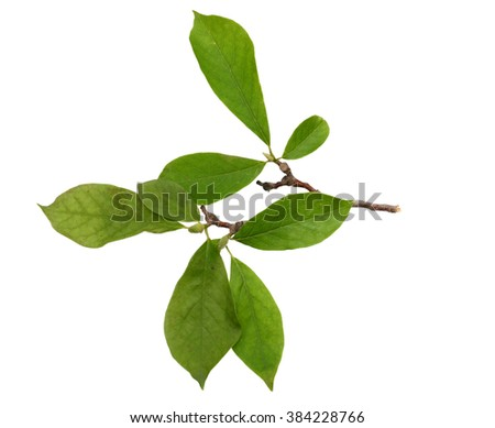 magnolia branch isolated on white background - stock photo