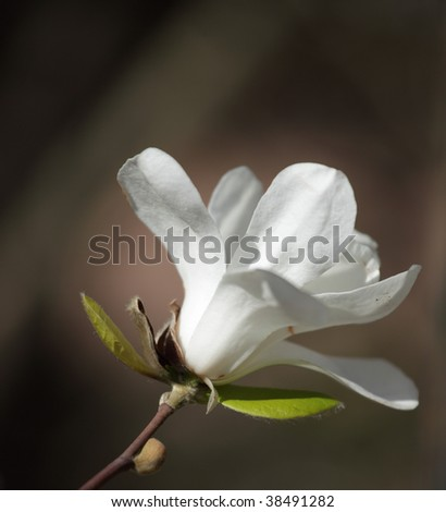 Magnolia flower at springtime