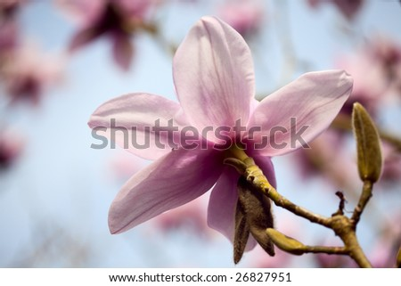 magnolia flower in background of blue sky