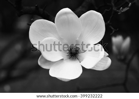 Magnolia flower in black and white  - stock photo