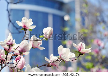 Magnolia flower in city park with skyscraper on  background. a sunny day - stock photo