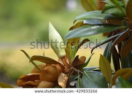 Magnolia Flower ready to bloom background - stock photo