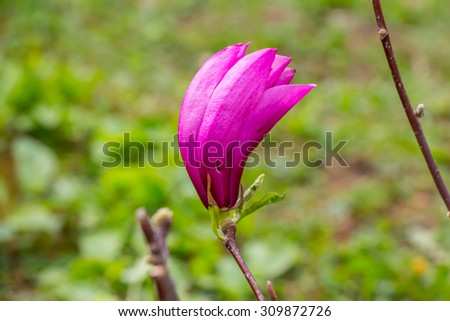 magnolia flower, Soft focus image of blossoming magnolia flowers in spring time. Shallow DOF. Against blue sky.