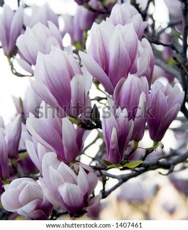 Magnolia flowers - stock photo