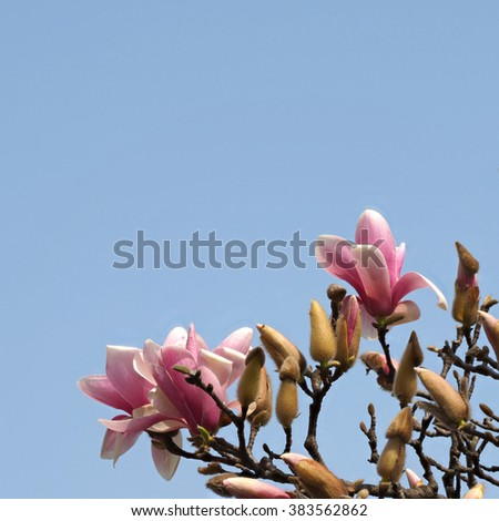 Magnolia flowers against blue sky. Blooming magnolia tree in the spring