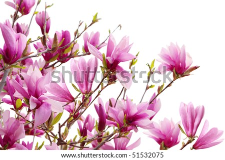 Magnolia flowers blooming isolated on white background - stock photo