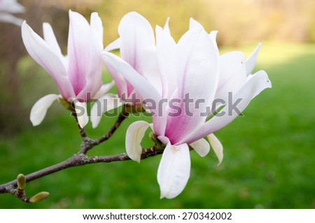 Magnolia flowers, closeup picture