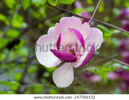 Magnolia. Image of blooming tree with pink and white  flowers. - stock photo