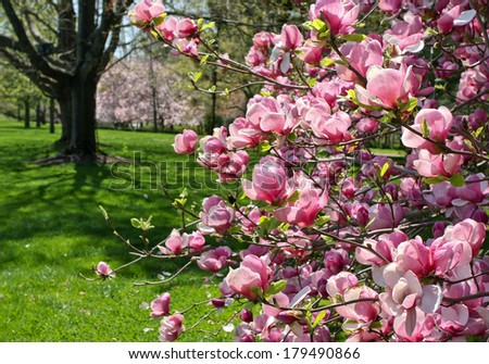 Magnolia in full bloom and a beautiful Spring landscape. - stock photo