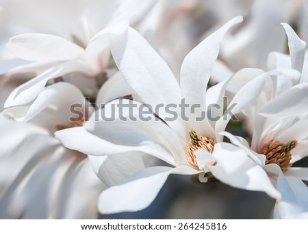 Magnolia kobus. Soft focus image of blooming tree with white flowers - stock photo