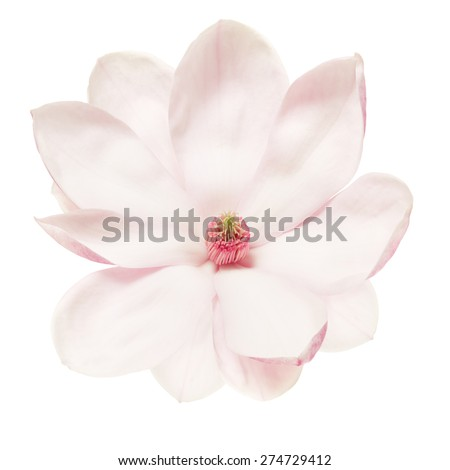 Magnolia pink flower isolated on white, clipping path included
