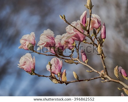 Magnolia soulangeana,saucer magnolia is a hybrid plant in the genus Magnolia and family Magnoliaceae with snow  - stock photo