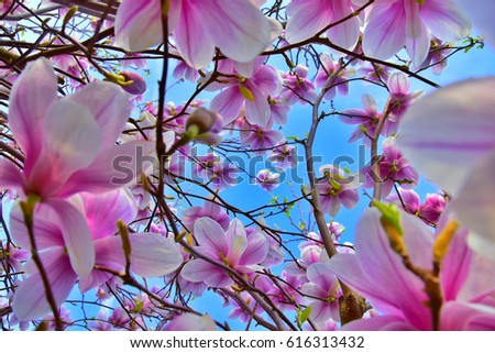 Magnolia soulangeana saucer magnolia pink flower stock photo magnolia soulangeana saucer magnolia pink flower it is a beautiful deciduous tree mightylinksfo