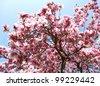 magnolia tree - stock photo