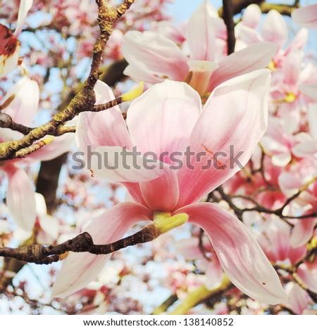 magnolia tree blossom - stock photo
