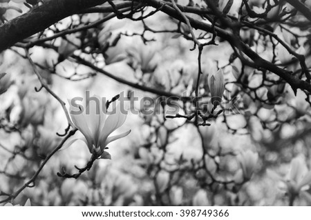 Magnolia tree in blossom. Selective focus and bokeh. Aged photo. Black and white. - stock photo