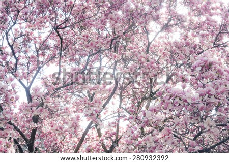 Magnolia tree in full blossom - landscape exterior - stock photo
