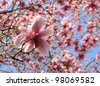 magnolia tree in springtime - stock photo