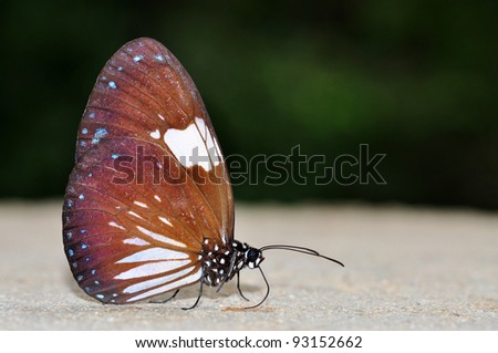 Magpie Crow black and white butterfly of Thailand background