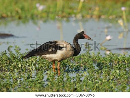 Magpie Goose in Kakadu National Park, Australia - stock photo