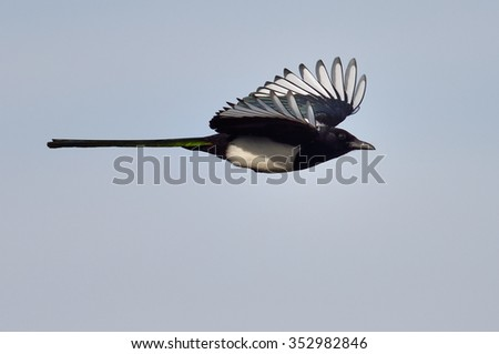 magpie in flight (pica caudata) - stock photo