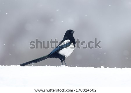 Magpie, Pica pica, single bird in snow, Warwickshire, March 2013