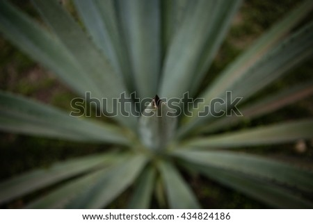 Maguey plant with blurry background - stock photo