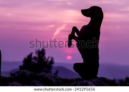 Magyar vizsla on sunset - stock photo