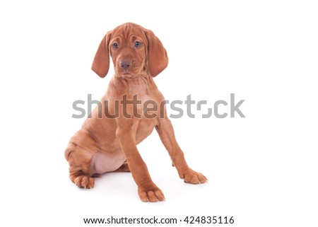 Magyar Vizsla puppy, eight weeks old, isolated on white - stock photo