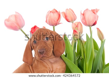 Magyar Vizsla puppy with pink tulips, white background - stock photo