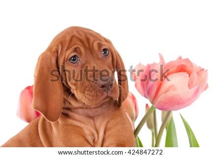 Magyar Vizsla puppy with tulips. White background. - stock photo