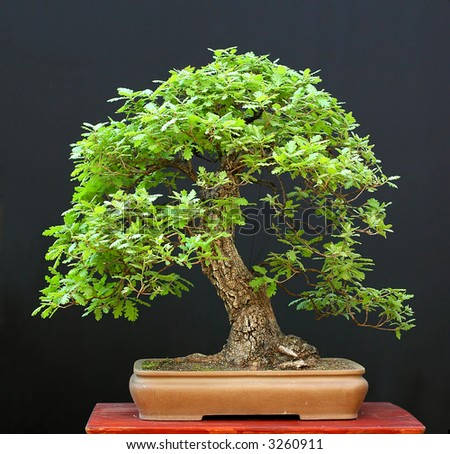 maidenhair oak bonsai