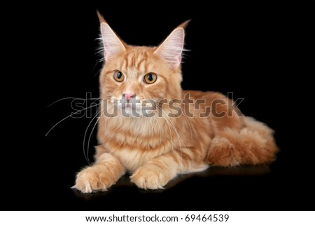 Main Coon cat - stock photo